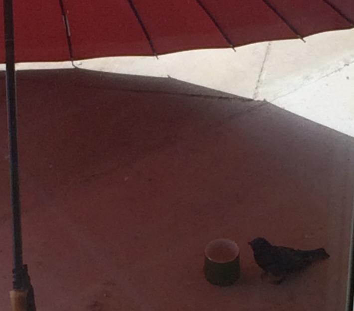 傘とオオルリ