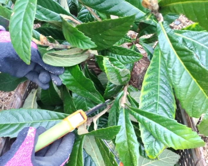 枇杷の葉をハサミで切っているところ