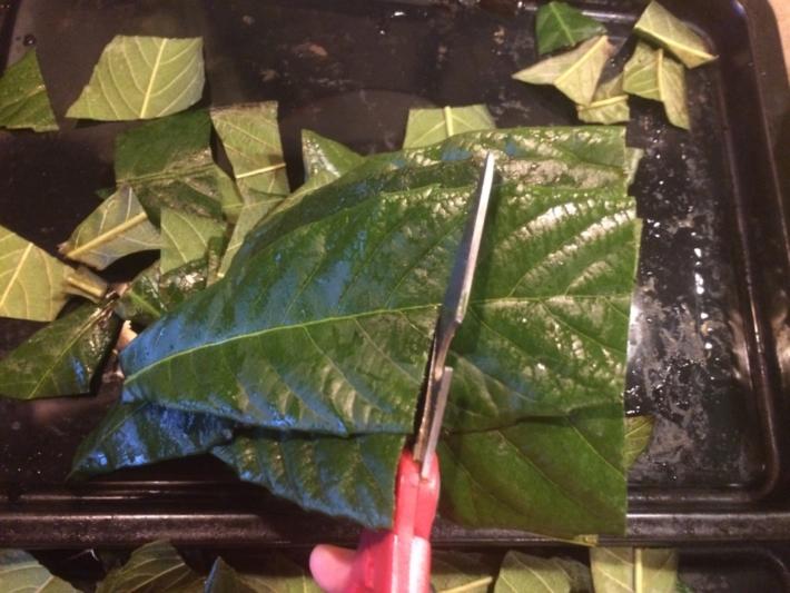 枇杷の葉をハサミでぶつ切りにしているところ