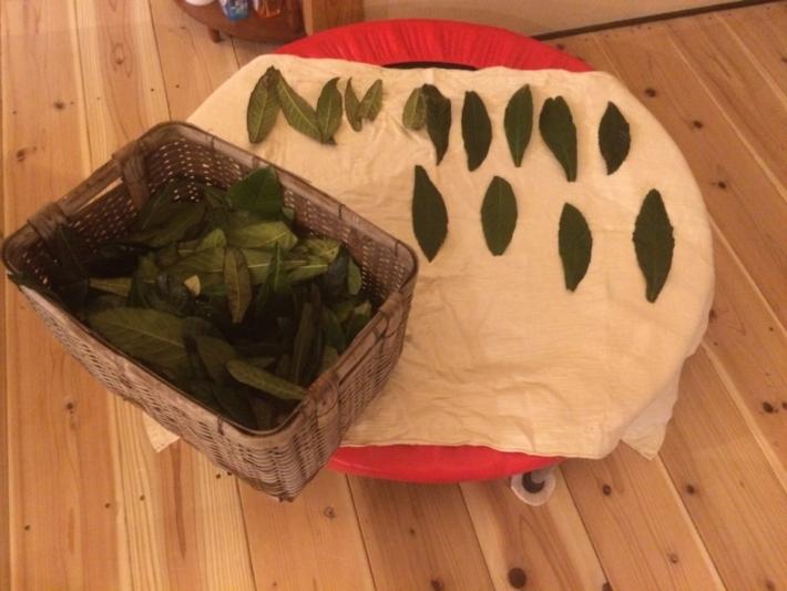 トランポリンに並べられた枇杷の葉
