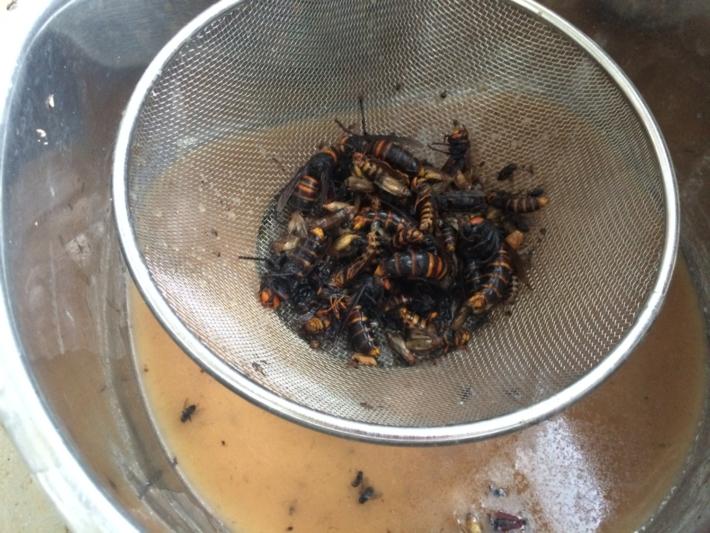 ペットボトルから取り出されたスズメバチ