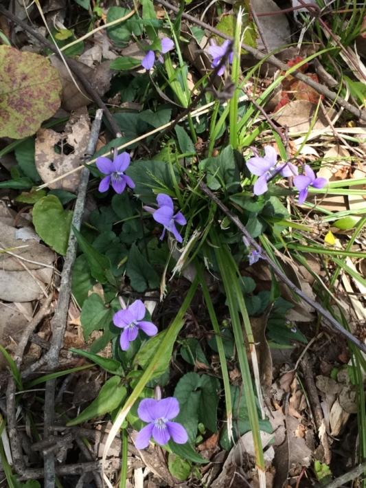 庭に咲くすみれの花
