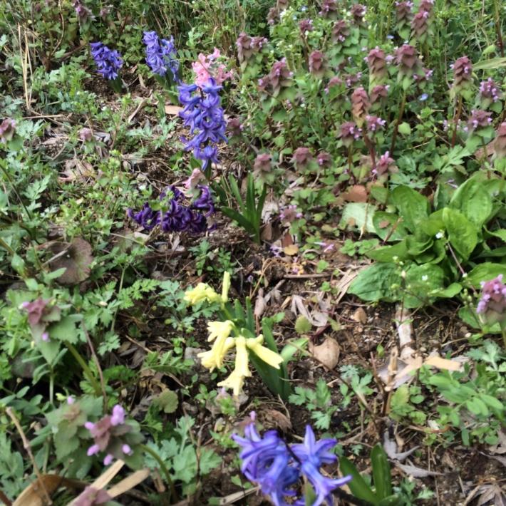 野の草種にまじり咲く色とりどりのヒヤシンスの花