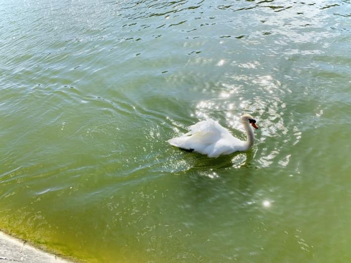 白鳥もいる愛宕山公園の池