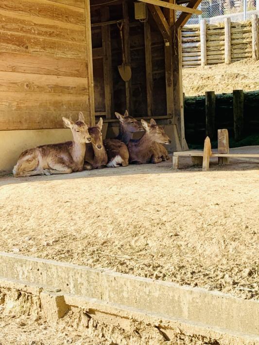 固まってお昼寝する愛宕山公園の鹿たち