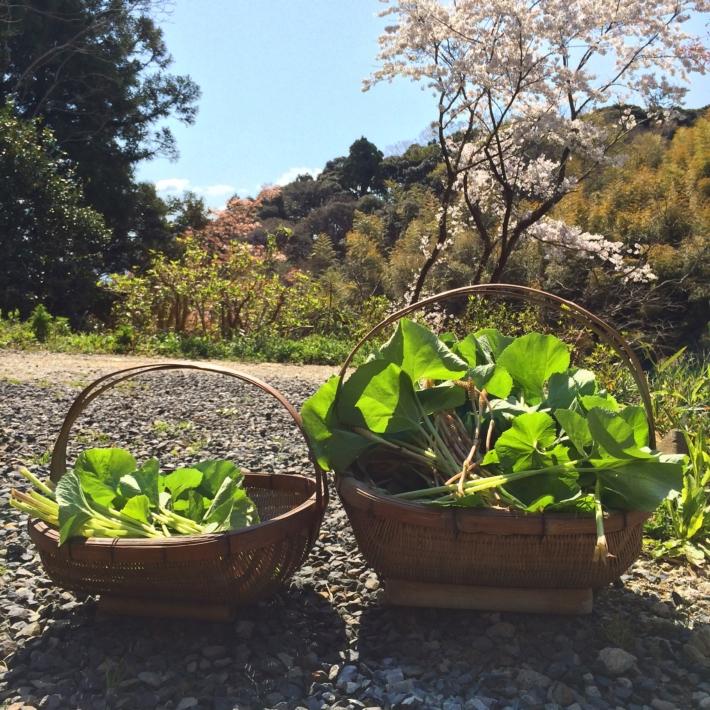 沢山採れた山菜(水蕗・よもぎ・ナズナ・土筆)