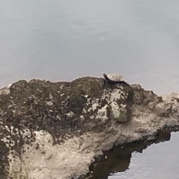 立久恵峡の川の岩の上で休んでいる亀