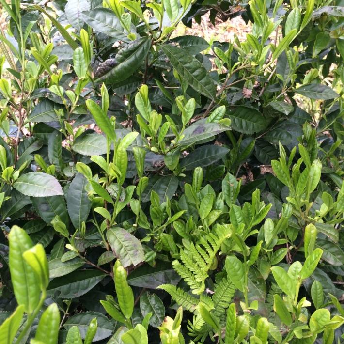 庭に生えているお茶の木