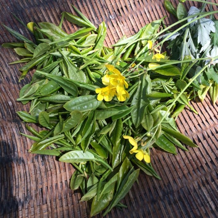 お茶の新芽とぶたなとヨモギ