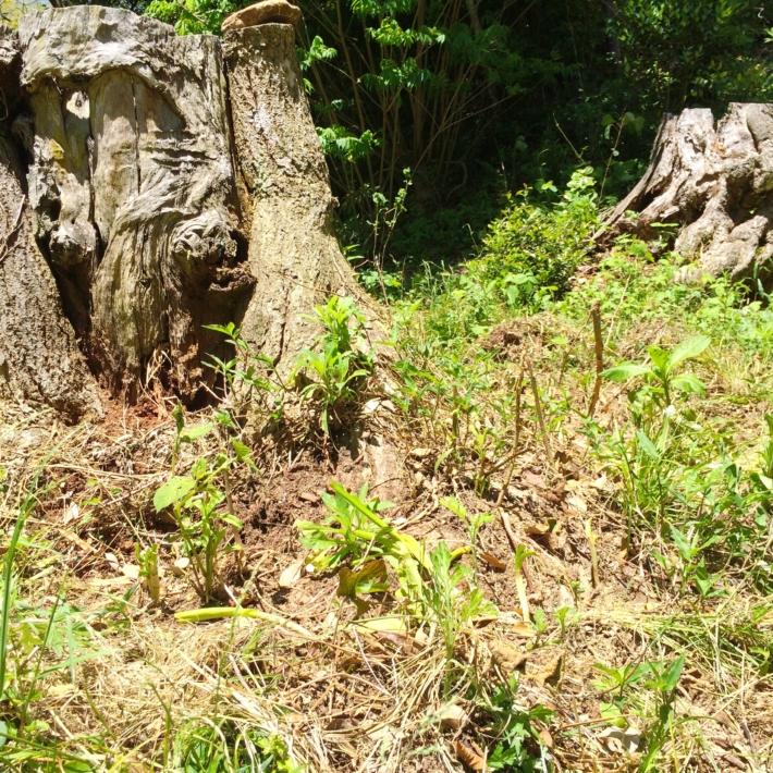 切り株の周りに植えられた水仙
