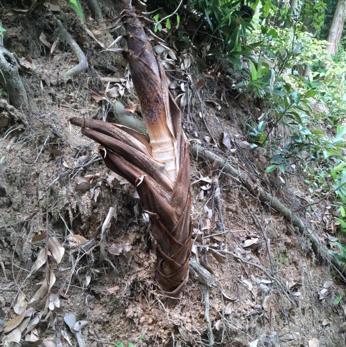 数メートル離れたところで立ち枯れしたタケノコ