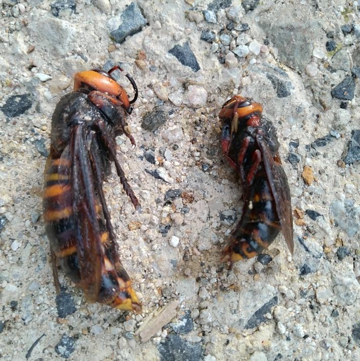 左が女王蜂、右が働き蜂。