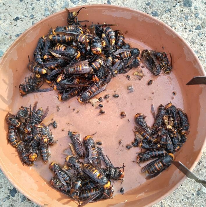 トラップを吊るして一週間採れたオオスズメバチ