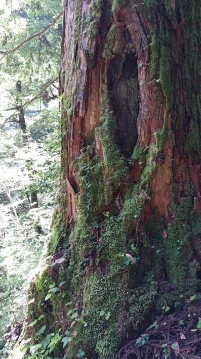 龍頭が滝山道の老杉