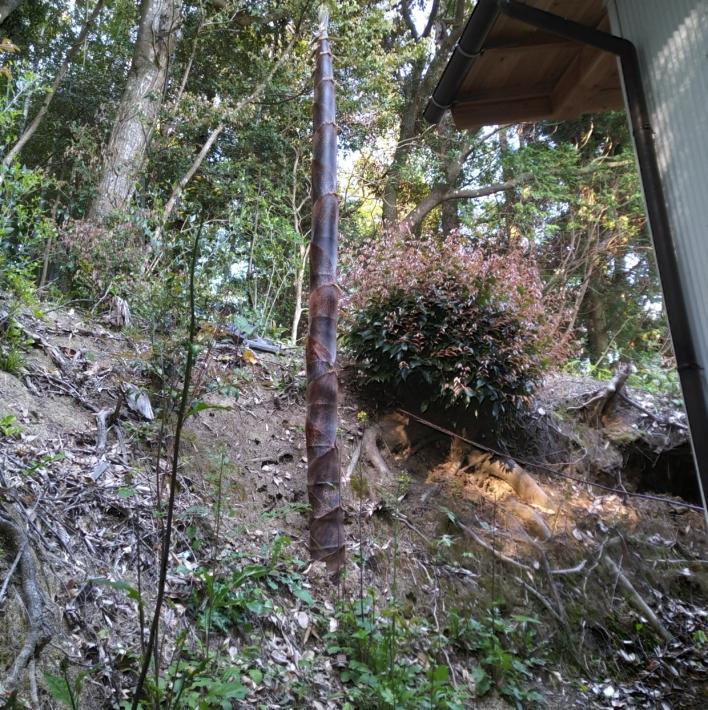 家の軒のすぐ下に生えてきたタケノコ