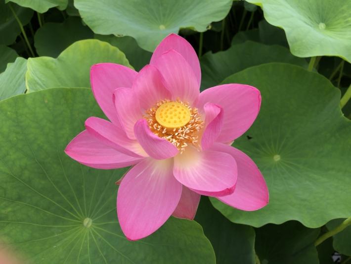 荒神谷史跡公園内『大賀ハス』生命力を感じる美しいハスの花