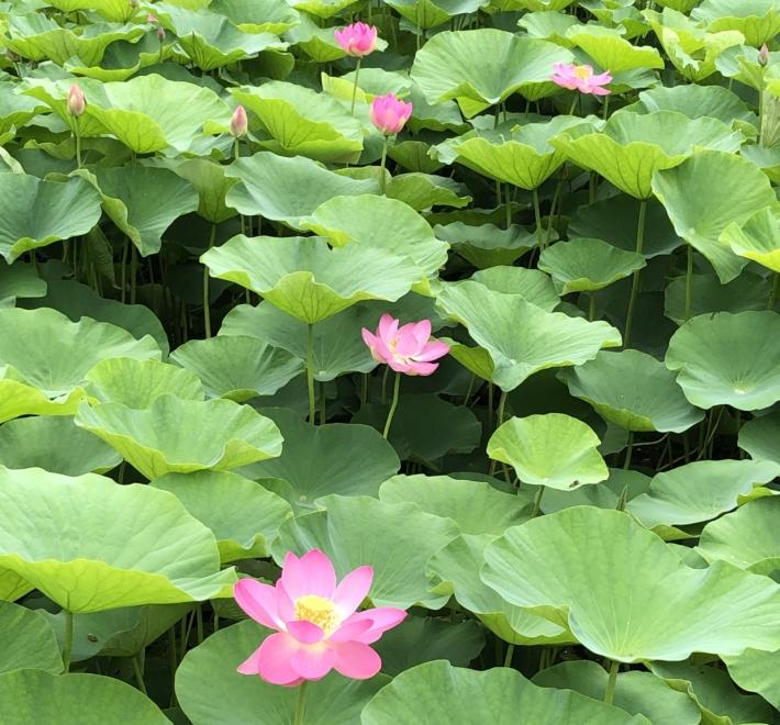 荒神谷史跡公園内。ピンクの花と、大きな緑の葉っぱのコントラストが美しいです