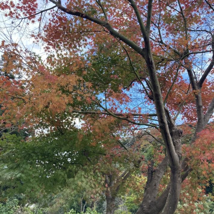 庭のもみじの木
